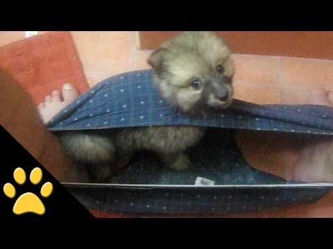 Tiny Puppy Gets Stuck in a Man's Boxers