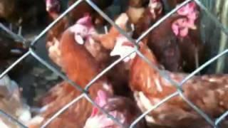 Łapalickie kury