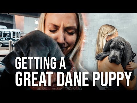 SURPRISING MY GF WITH A GREAT DANE PUPPY || vlog002