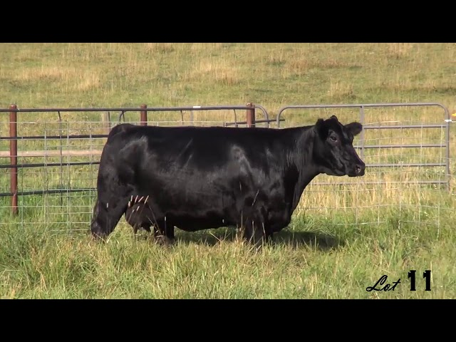 Pine Coulee Angus Lot 11