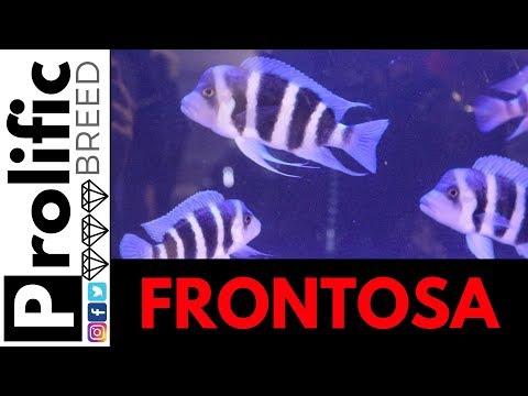 FRONTOSA FISH |