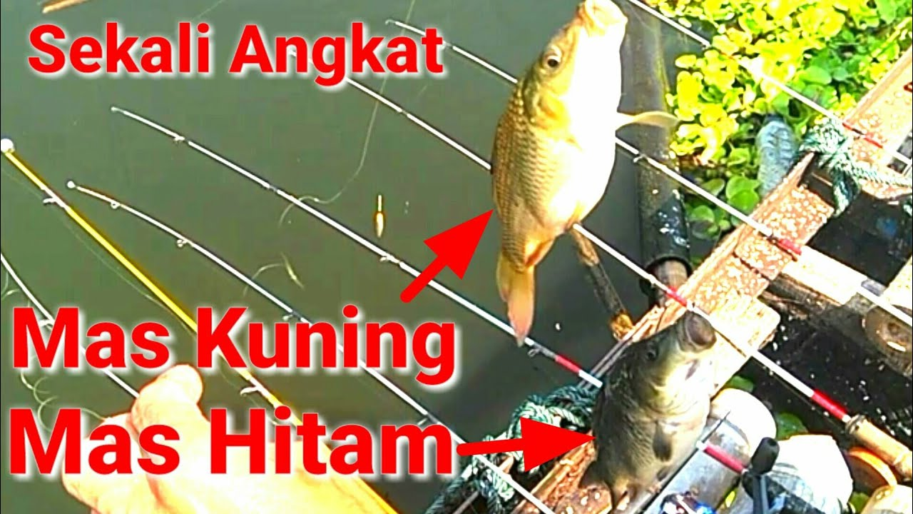 Unduh 99 Gambar Erek2 Ikan Bawal HD Terpopuler