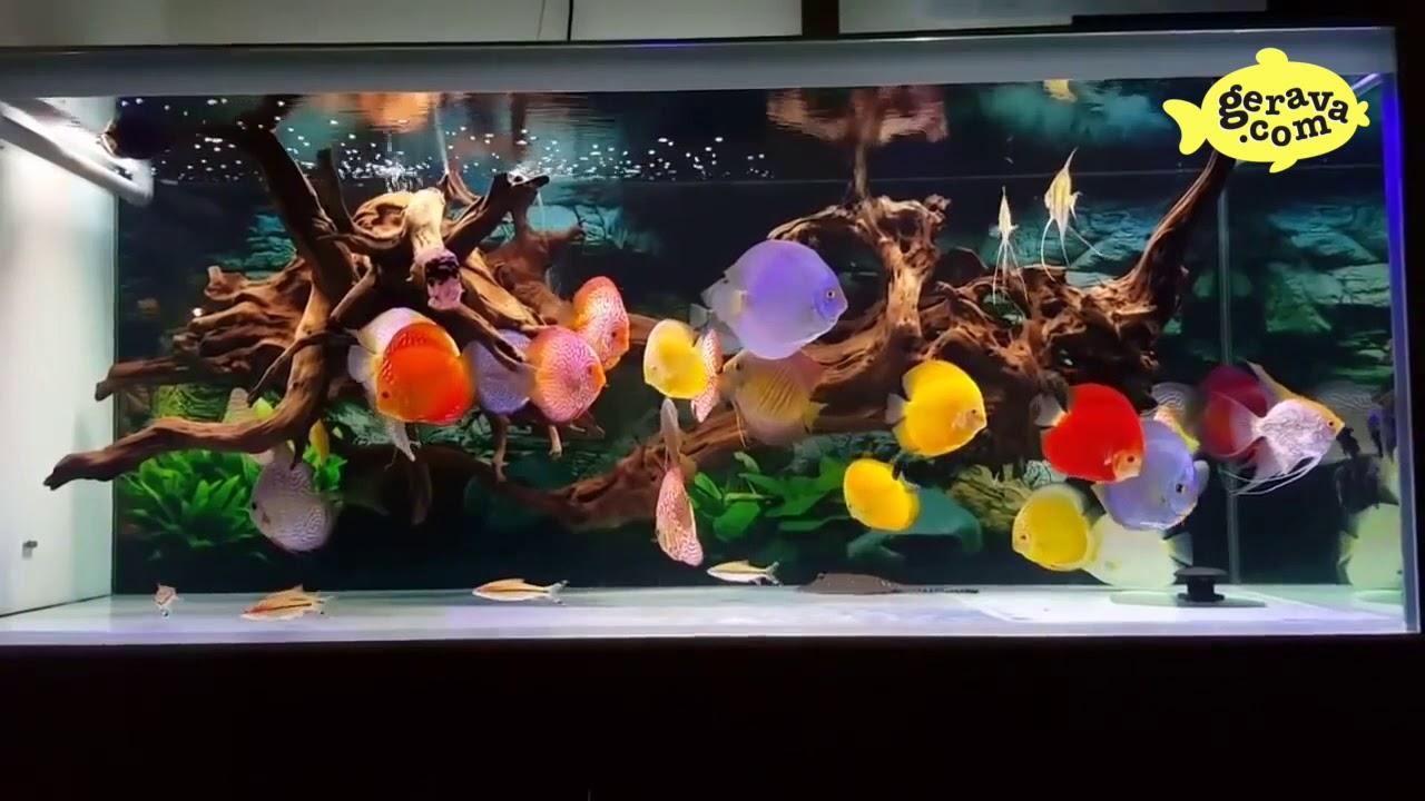 125 Jenis Ikan Discus Paling Lengkap Beserta Gambarnya