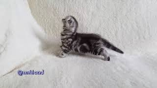 Dafna Mifiland, scottish fold girl
