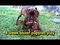 OMG! Cute 8 week boxer puppy siblings play together for the last time