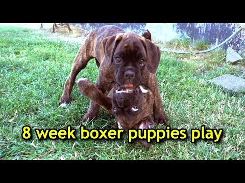 omg!-cute-8-week-boxer-puppy-siblings-play-together-for-the-last-time