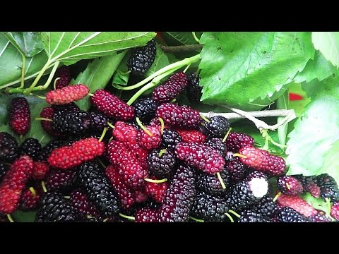 Wild Berries Hunt In Yokohama