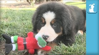 Ridiculous Bernese Mountain Puppies VS. Santa - Puppy Love