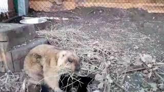 Степной сурок байбак проснулся в иркутском зоосаде
