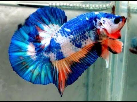 4 Kesalahan terbesar didalam memelihara IKAN CUPANG / 4 Biggest mistake about care BETTA FISH