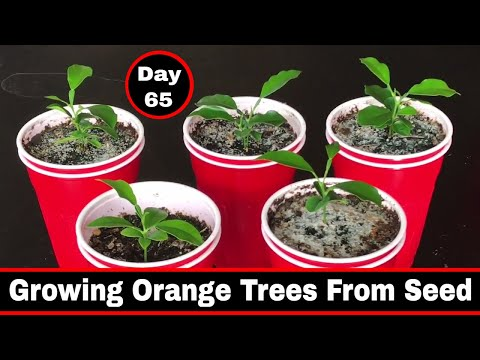 Growing Citrus - Orange Trees From Seed, Day 65