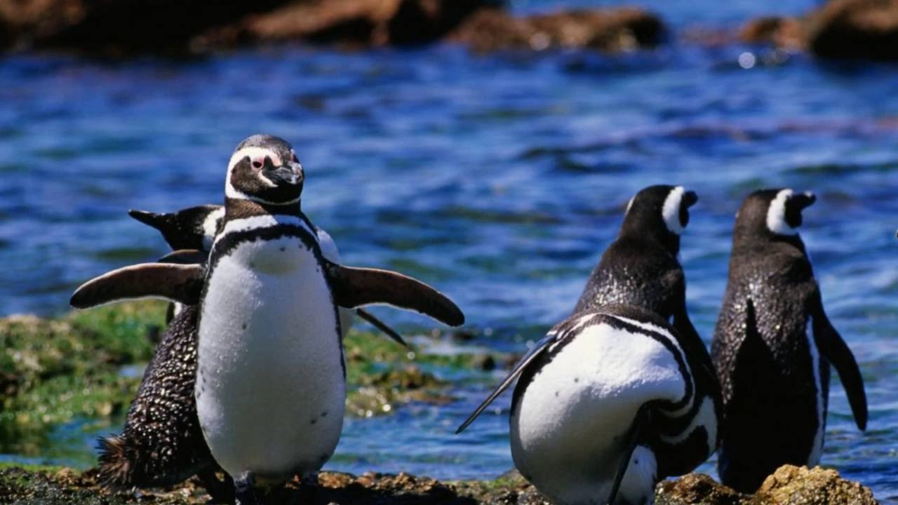 6k In Miles >> PINGUINOS DE MAGALLANES, PATAGONIA ARGENTINA - YouTube