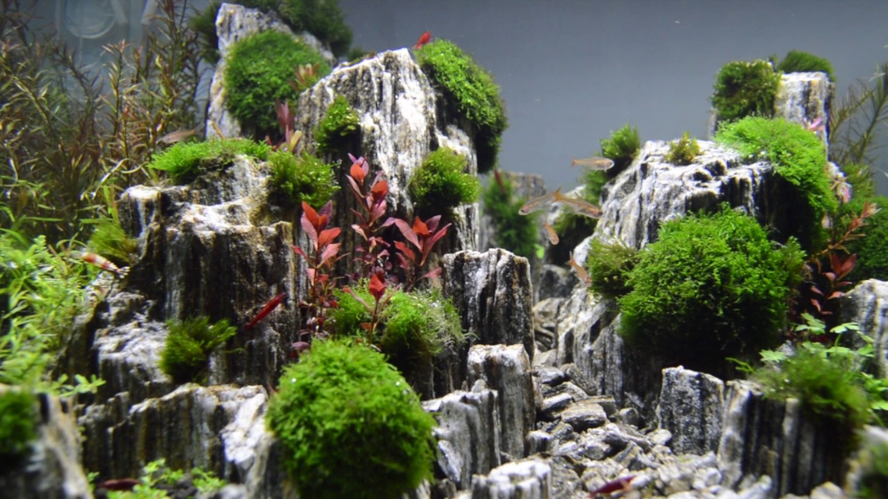 Aquascape Planted Aquarium With Glimmer Wood Rock Day 3
