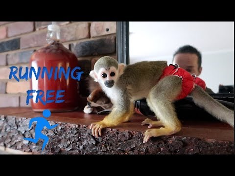 oLLie the Monkey Running Free!