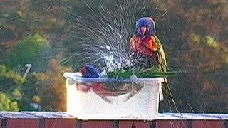 Bully Lorikeets Take A Bath