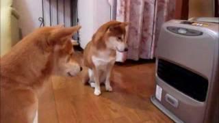 寒がりの柴犬2匹、ストーブ前でひたすら点火待ち