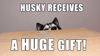 Husky Opens Gift From Subscriber | Mail Time