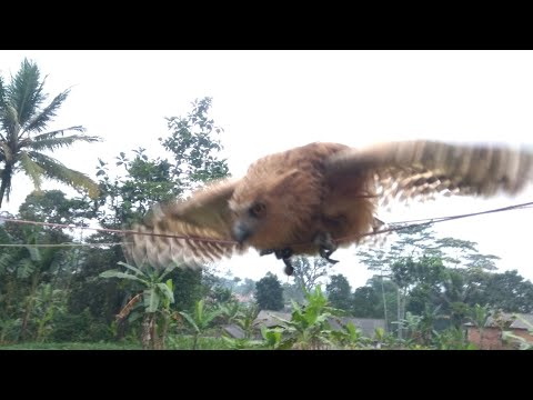 Buffy Fish Owl ( Fukuro'o) Belajar Skil  Hunting Tikus