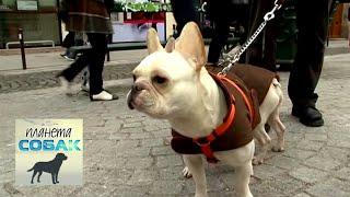 Французский бульдог. Планета собак 🌏 Моя Планета