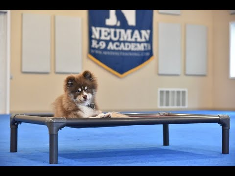Diggs (Pomsky) Puppy Camp Dog Training Video Demonstration