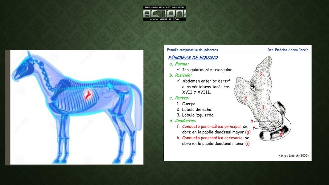 Pancreas e Higado de Equino - YouTube