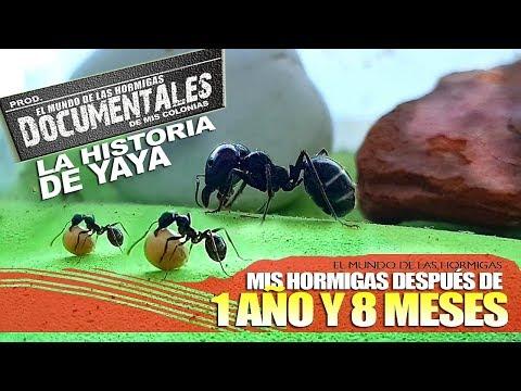 Mi primer hormiguero 1 año y 8 meses depues| Yaya la gran hormiga antes de morir