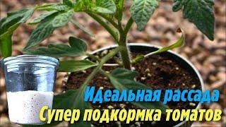 Благодаря этой Супер подкормке ваша Рассада Томатов будет Крепкая и толстенькая Дачные секреты