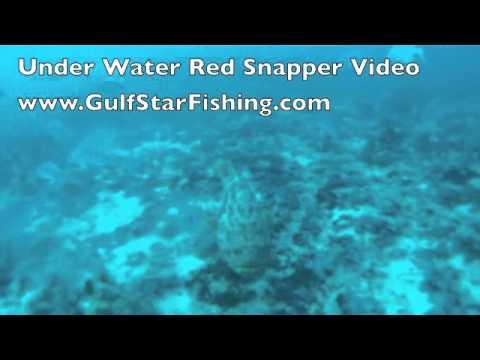 Underwater Red Snapper Video