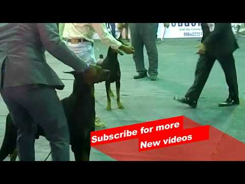 Wow ! Most Amazing dog breeds | Bangalore championship dog Show | doberman pinscher |