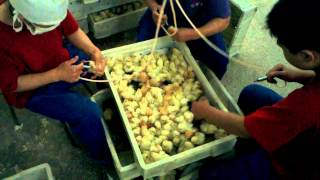 Vaccinating chicks at Beijing poultry farm