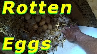 Muscovy Nest Problems In The Love Shack 46 Hatching Duck & Goose Eggs