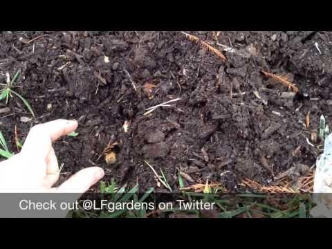 Muscari Bulbs : Planting Tips