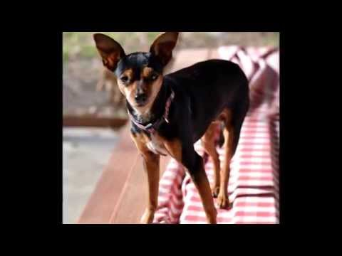 Adoptable Rat Terrier Min Pin Callie Youtube