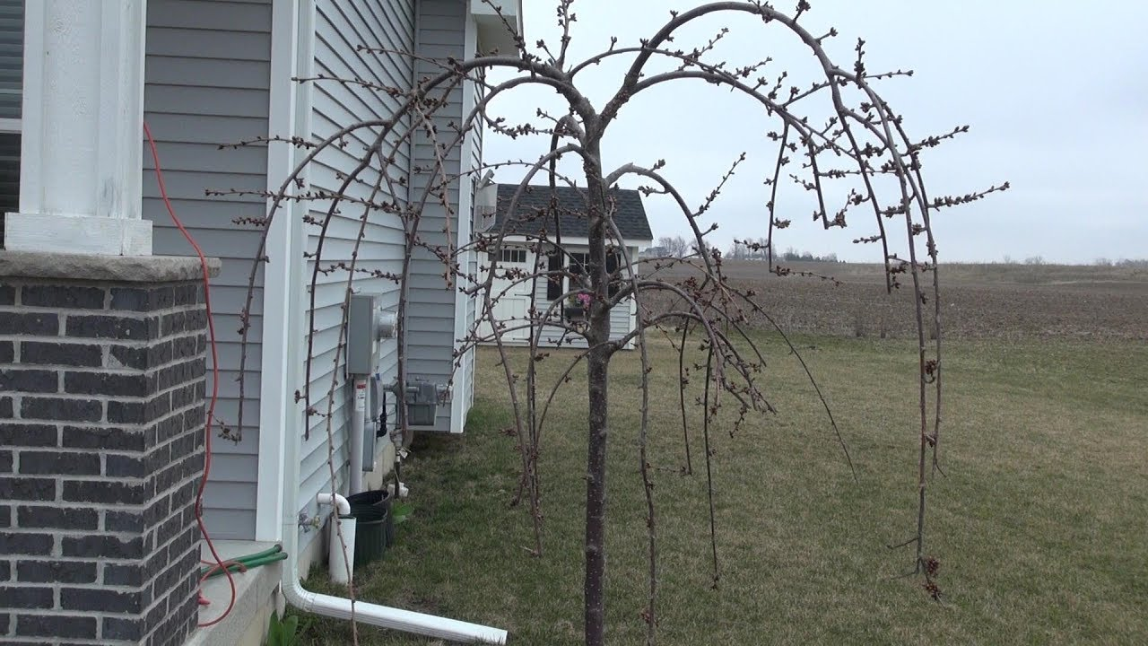 Pruning A Young Weeping Cherry You