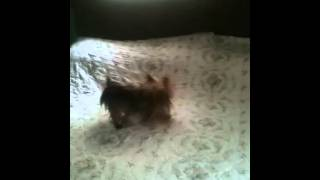 Crazy dog doing gator rolls on my parents bed