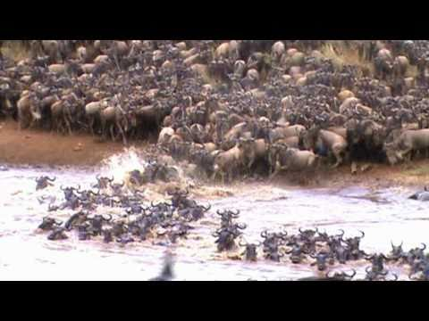 AMAZING FOOTAGE OF WILDEBEEST CROSSING THE MARA RIVER