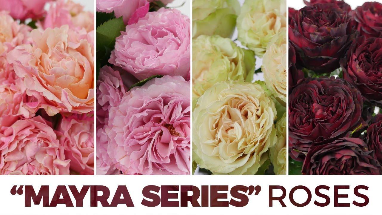 Roses In Garden: JFTV: Mayra Series Garden Roses With Celine