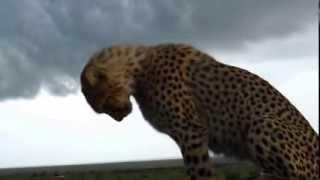 Cheetah falls in car! Masai Mara, Kenya, Safari
