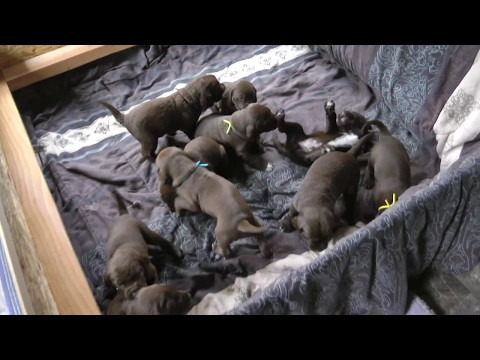 German Shorthaired Pointer Cross Pups 3 wks old May 10, 2017