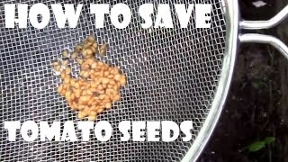 How to Save Tomato Seeds. DIY step by step instructions.