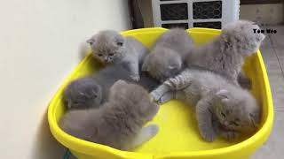 Mua Bán Mèo Anh Lông Ngắn - aln tại Hà Nội & TPHCM