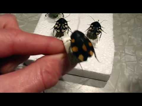 Pretty June Bug and Cute Cockroaches