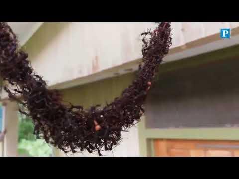 Miles de hormigas forman un puente para llegar a un panal de miel