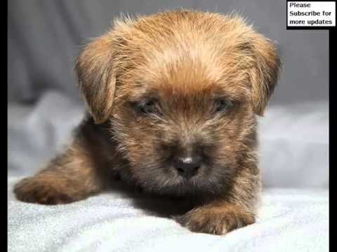 Dog Norfolk Terrier Puppy   Dog Pictures Of Terrier Dogs And Puppy