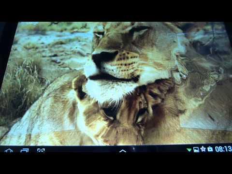 Лев и львица  Любовь
