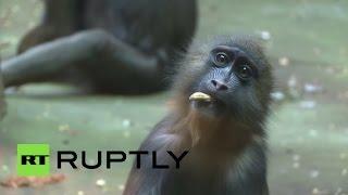 Московский зоопарк показал детеныша мандрила