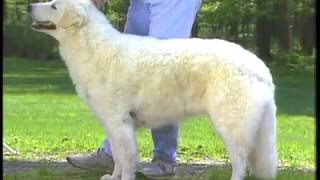 Kuvasz - クーバース - AKC Dog breed series.