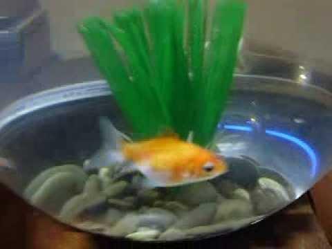 Маленькие золотые рыбки в круглом аквариуме