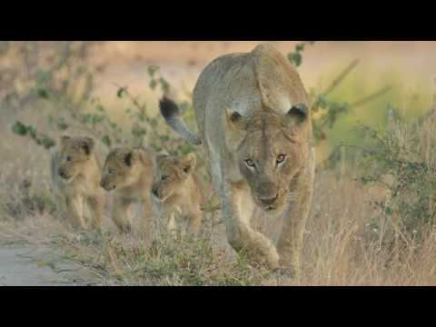 Lion Cubs - High Level Bridge Sabie River - Kruger National Park