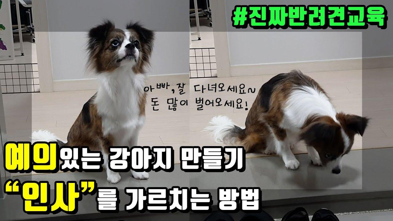 강아지훈련 강아지에게 안녕하세요 인사를 가르치는 방법! 인사를 가르쳤더니 예의 있는 강아지가 됬어요!